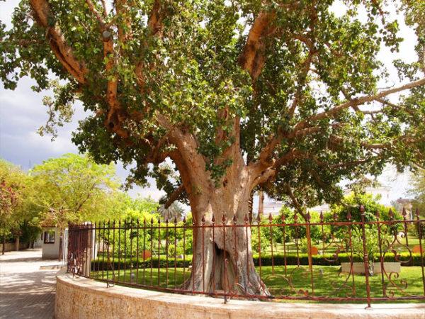 Дерево Закхея в Иерихоне известно как единственный «живой» свидетель деяний Иисуса Христа