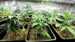 Рассаду конопли и других наркотических растений (в том числе табака)