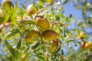 Аргана – это удивительное дерево, произрастающее только на территории Марокко