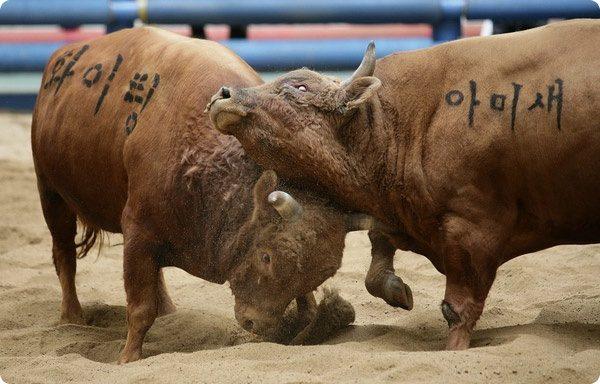 Бой быков в Корее