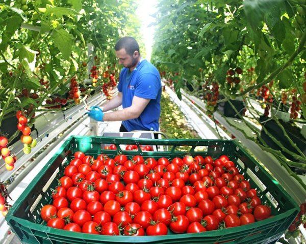 Сборщику урожая предоставляется полноценное питание и жильё на рабочей территории