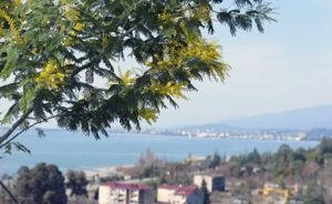 Цветение мимозы в Абхазии