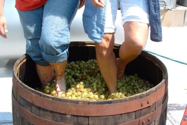 Тбилисоба научит давить виноград