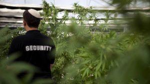 Выращивают медицинский каннабис в Израиле всего восемь хозяйств